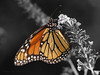 Flitting Friends : Our flitting friends, the butterflies and their larvae, that frequent our yard and garden.